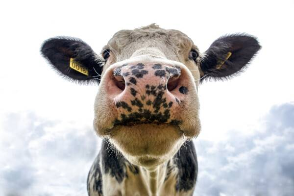 Vertaalbureau AgroLingua | Koeien hebben het niet zo met luidsprekers