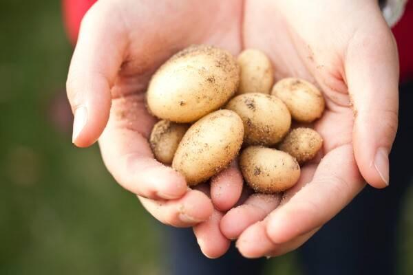Vertaalbureau AgroLingua | Populaire aardappelrassen